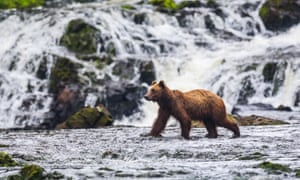 Let's go fishing: young brown bear (Ursus Arctos) on the look out for salmon at Freshwater Bay creek in Tongass National Forest.
