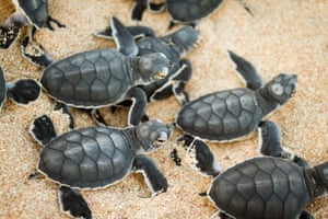 Green turtle hatchlings on the Northern beaches of the Great Barrier Reef are now 99% female, due to warmer temperatures.