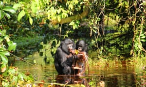 Wild bonobos feeding on lillypads. During feeding, bonobos frequently produce peep vocalizations as well as in other contexts.