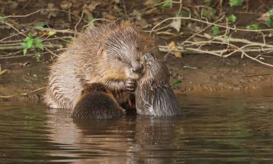 Female beaver with her kits