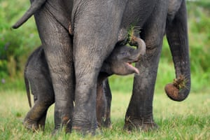 A baby Sumatran elephant plays with her mother in the Leuser Ecosystem wildlife reserve in south Aceh, Indonesia