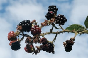 Brambles against a September skyI wasn't the only one foraging that September morning Photograph: MaryTobin/GuardianWitness