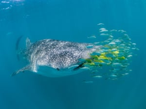 The researchers also took photographs of the natural markings on each whale shark to identify and track individuals over a 10-year timeframe. Every whale shark has a unique spot pattern, similar to a human fingerprint. The team recorded 4,197 encounters with 1,240 individual whale sharks within these three countries.