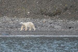 A hungry polar bear looks for prey along the shore, near Pyramiden, Svalbard.