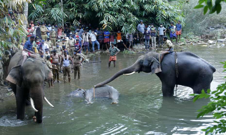Two elephants inspecting the wild elephant who died after suffering injuries, in Velliyar River, Palakkad district of Kerala state, India