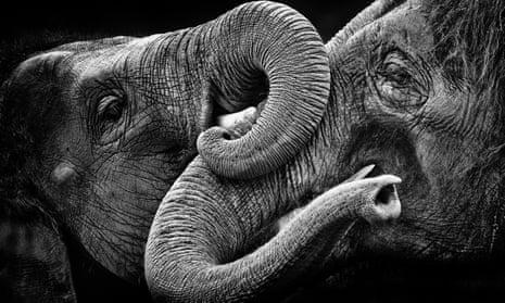Elephants embracing