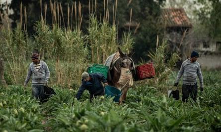 Workers on a farm at El Prat del Llobregat, near Barcelona, harvest artichokes in March.