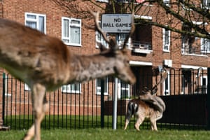 A herd of fallow deer graze on the lawns in front of a housing estate in Harold Hill in east London on 4 April.