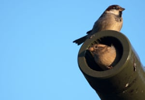 Two sparrows sit on the cannon of the Soviet War Memorial T34 tank in Berlin, Germany