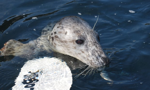 Kayaks, drones, now paddleboards: the 'silent' sports that threaten seals