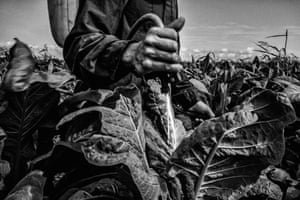 Shortlisted: César Rodríguez. Artemio, 50 years old, applying pesticides at the tobacco fields in Mexico. He is applying a mixture of chemicals that if absorbed by his body, would put him in danger of losing his life. Normally these chemicals are prohibited, but not in these fields.