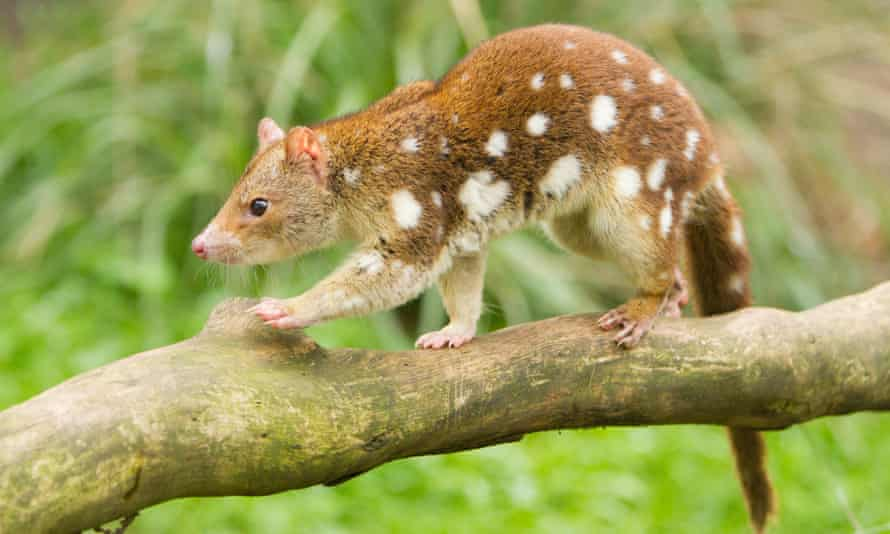 The Tiger quoll - the closest remaining relatives of the extinct thylacine.