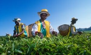 Three tea pickers in Kericho, Kenya