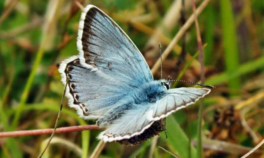 The chalkhill blue butterfly