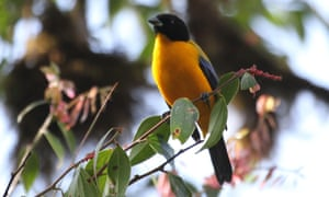 Black-chinned Mountain Tanager (Anisognathus notabilis).