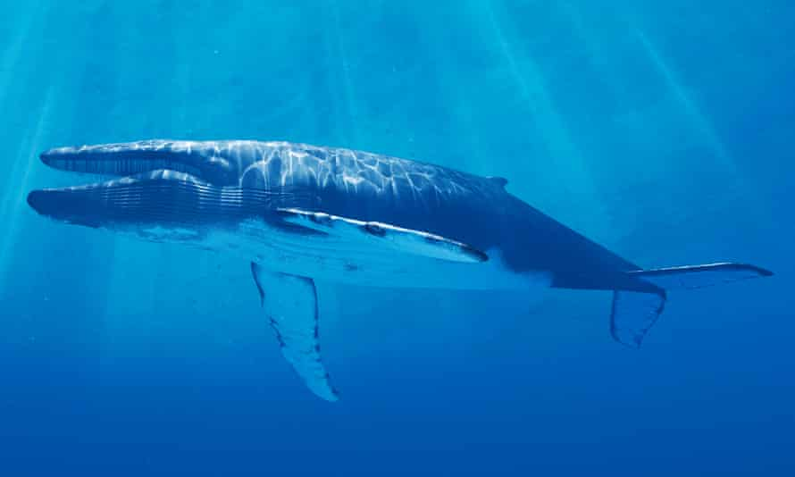 Feeling blue: scientists – and lonely people – have been tracking a single blue whale who sings, unanswered, at a frequency other whales can't hear.