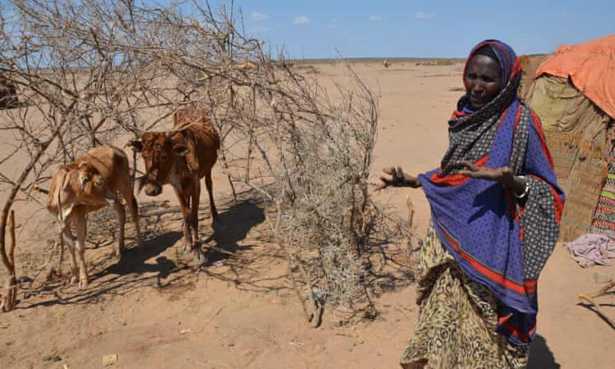 Lule Dubet in Gurgur, Somali region, Ethiopia, with two of her cattle