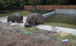 Hippopotamuses predict World Cup results.