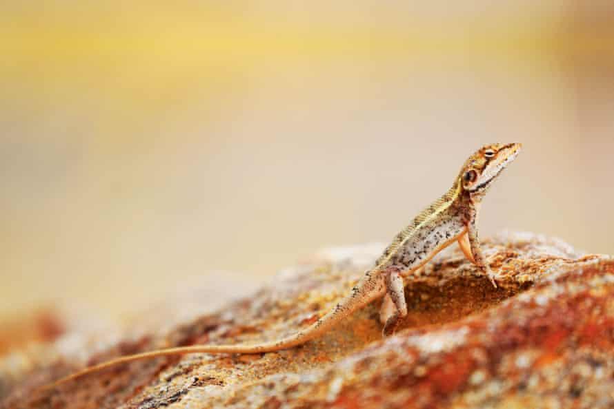 A lizard sunbathes in the Katherine region
