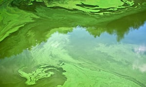 Cyanobacteria or 'blue-green' algae, which develop at the surface of a slow-flowing river in France.