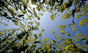 Rapeseed crops in a field near Wells, Somerset.