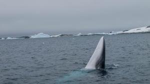 An Antarctic minke whale surfacing, Antarctic Peninsula