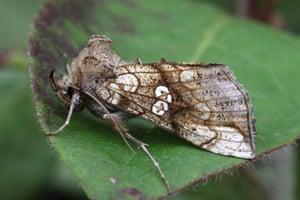 A golden plusia moth