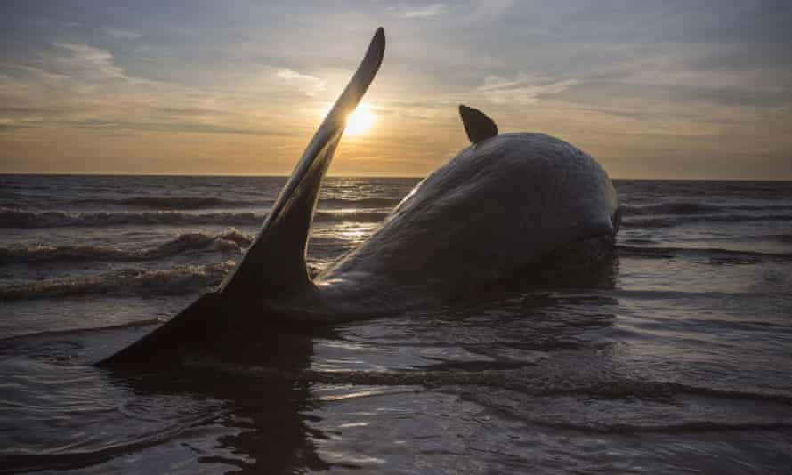 One of three Sperm Whales, which were found washed ashore near Skegness over the weekend, lays on a beach.