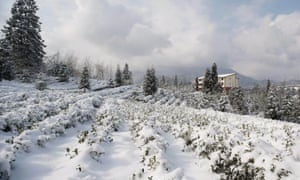 Snows of China: a tea garden in Sichuan, a south-west province, is blanketed in January this year.