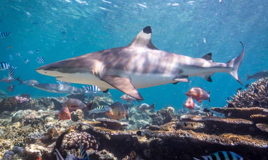 A blacktip reef shark cruises over the reef at the Shark Reef Marine Reserve, Fiji.