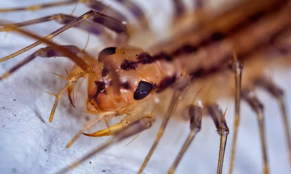 A close-up of a house centipede.