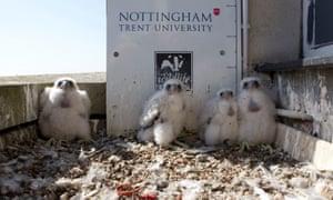Peregrine falcon chicks at Nottingham Trent University