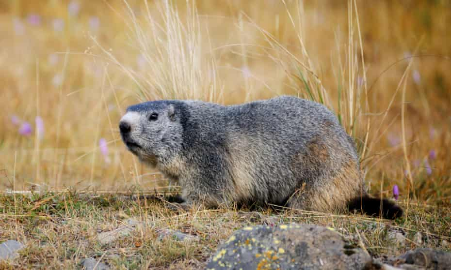 Because their teeth are always growing, groundhogs often gnaw on hard materials such as trees. In a cemetery, wood from caskets, and even human bones, provides ample opportunity to pare down their teeth.