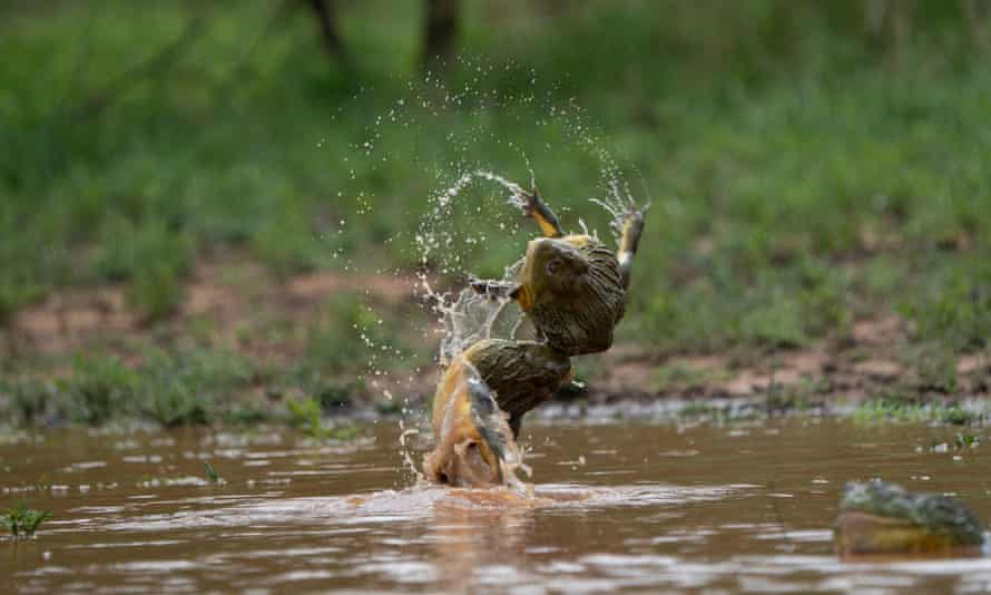 Two bullfrog males wrestling in temporary pools formed by sudden heavy rain in South Africa, filmed for The Mating Game.