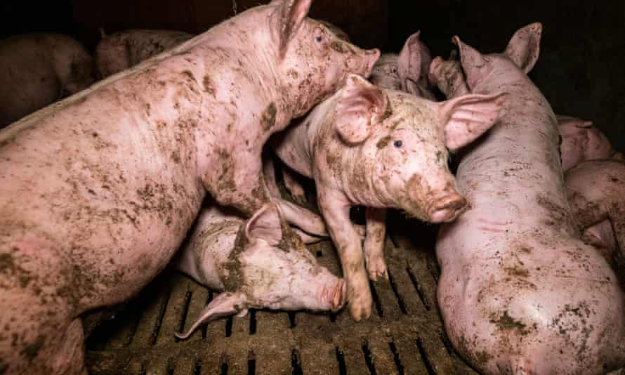 video footage released by French animal welfare group, L214, appears to show pig cannibalism, dead animals lying in pens, and pigs in overcrowded pens