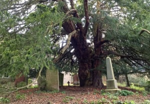 An ancient yew tree in St Cuthbert's churchyard, Beltingham