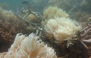 Newly bleached coral. Most of the reef has been placed on red alert for coral bleaching for the coming month by the US National Oceanic and Atmospheric Administration