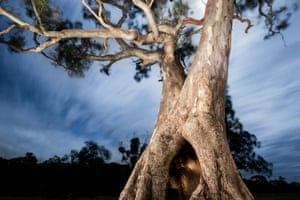Some of the Djap Wurrung trees have been used for around 50 generations as a place for local Aboriginal women to give birth.