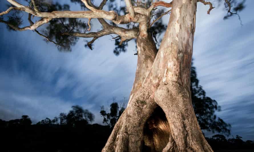 Djab Wurrung tree