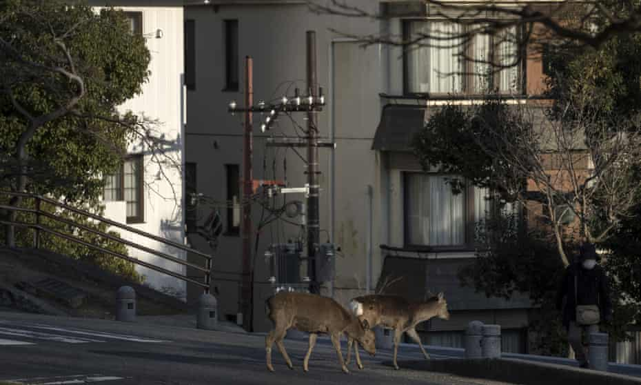 Sika deer cross a road in Nara, Japan. The animals have been wandering through city streets and subway stations.