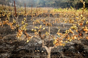 Wine grapes hang from fire damaged grapevines at a vineyard in St Helena.