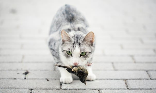 POLL: Should outdoor cats be prevented from killing birds?