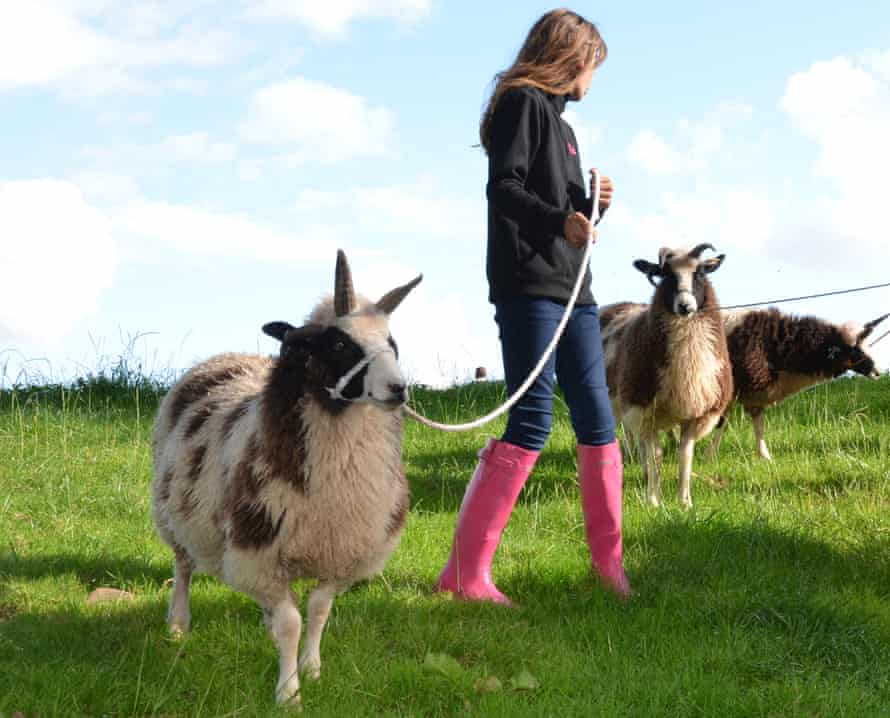 Sheep Trek, Good Day Out, Powys