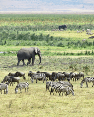 The Ngorongoro conservation area in northern Tanzania. The Ngorongoro conservation area in northern Tanzania is a world heritage site, home to the vast Ngorongoro crater and roughly 25,000 large animals. Huge herds of wildebeest and zebra traverse its plains during their annual migration.