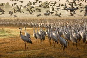 Common Cranes early morning by Julia's Images