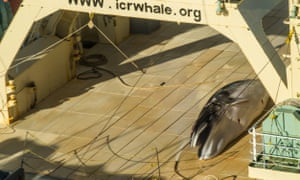Sea Shepherd has allegedly found the Japanese ship in the Australian Whale Sanctuary with a dead minke whale on its flensing deck.