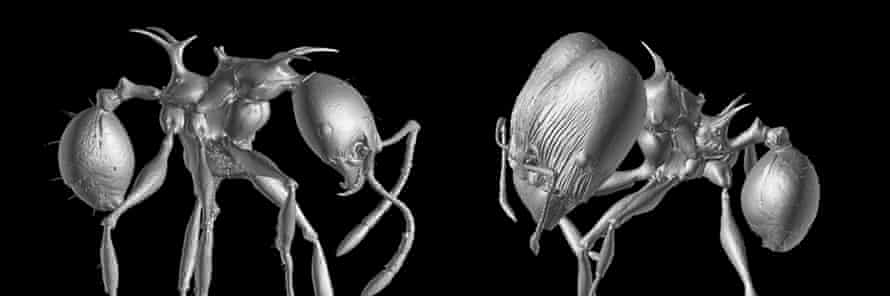 3-D scans of Pheidole drogon minor (left) and major worker (right).