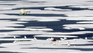 A polar bear walks away after feasting on the carcass of a seal on the ice in the Franklin Strait in the Canadian Arctic Archipelago