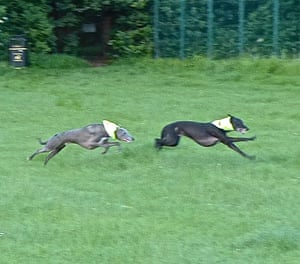 """<strong>Whippets running!</strong><br>Zac and Ziggy stretching their legs!<br>Photograph: <a href=""""https://witness.theguardian.com/assignment/55b0f634e4b02ab2dca28ece/1636038"""">zorbay17/GuardianWitness</a>"""