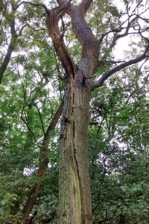 An example of a rare Bechstein's bat roost in a partially hollow oak tree, Finemere Wood, Buckinghamshire, ancient wood and nature reserve adjacent to HS2